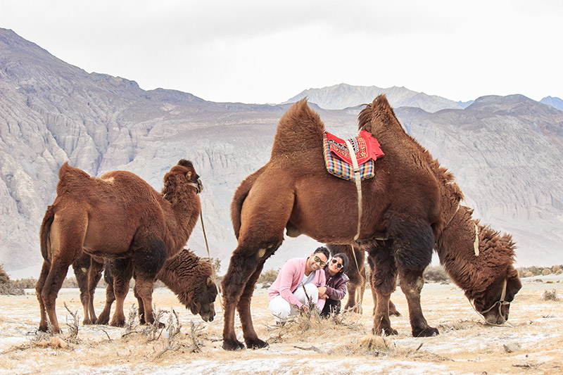 camel with two humps in Hunder Sand Dunes