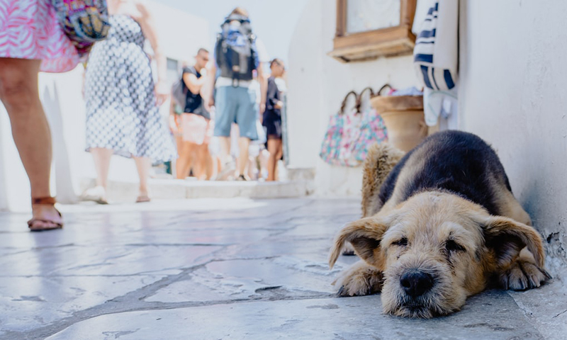 relaxed dog santorini